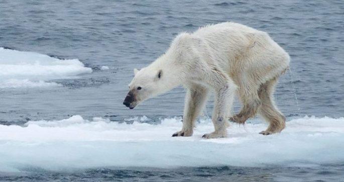 Oso polar con desnutricion